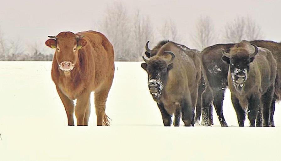 История необыкновенного спасения в Беловежской пуще: Беги, корова, беги